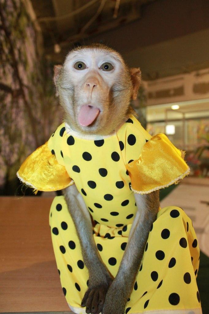 Смешные фото обезьян в одежде
