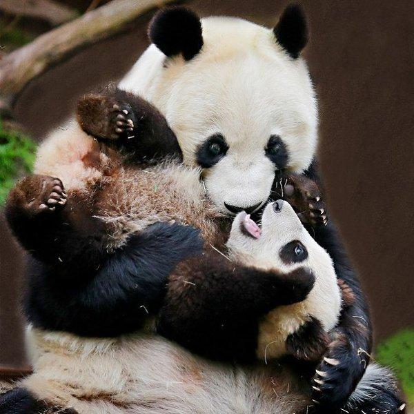 Картинки детеныши панды