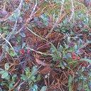ягоды 2015 год начало января костяника