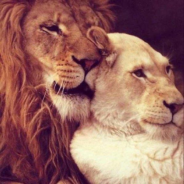 Гале поздравительные, львы и львицы картинки с надписями