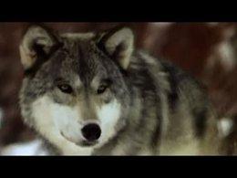 BBC: Поле битвы. Волки