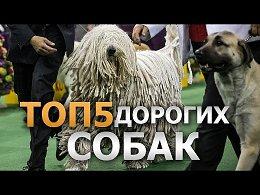 Топ 5 Самых Дорогих Собак