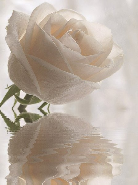 можно взять анимационные картинки бело-розовые розы получасе езды