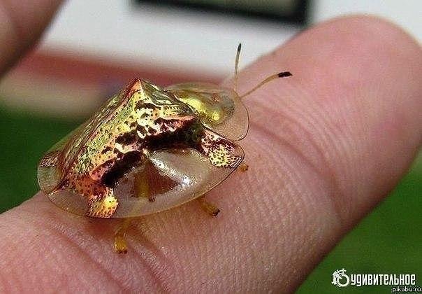 Золотая черепаха. Жук Золотая Черепаха (Charidotella sexpunctata) — насекомое размером в 5-7 мм, оно ...