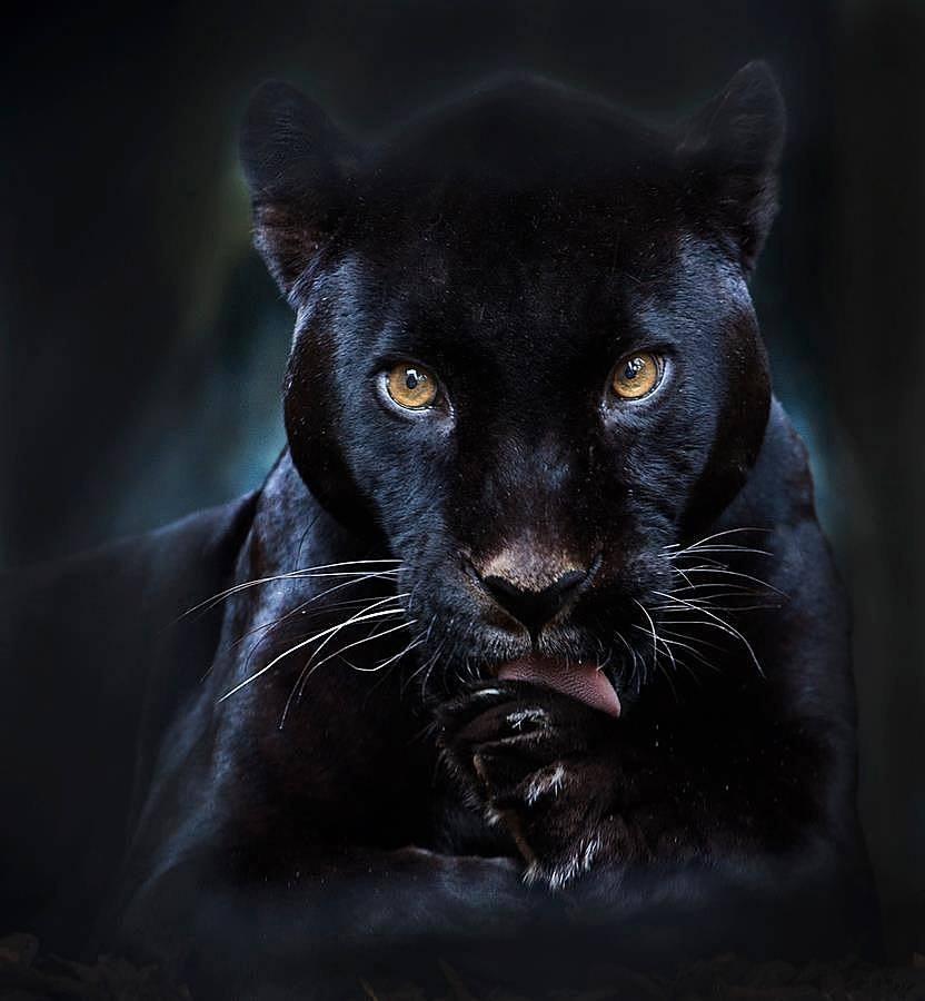 муж картинки черная пантера прикольные легко