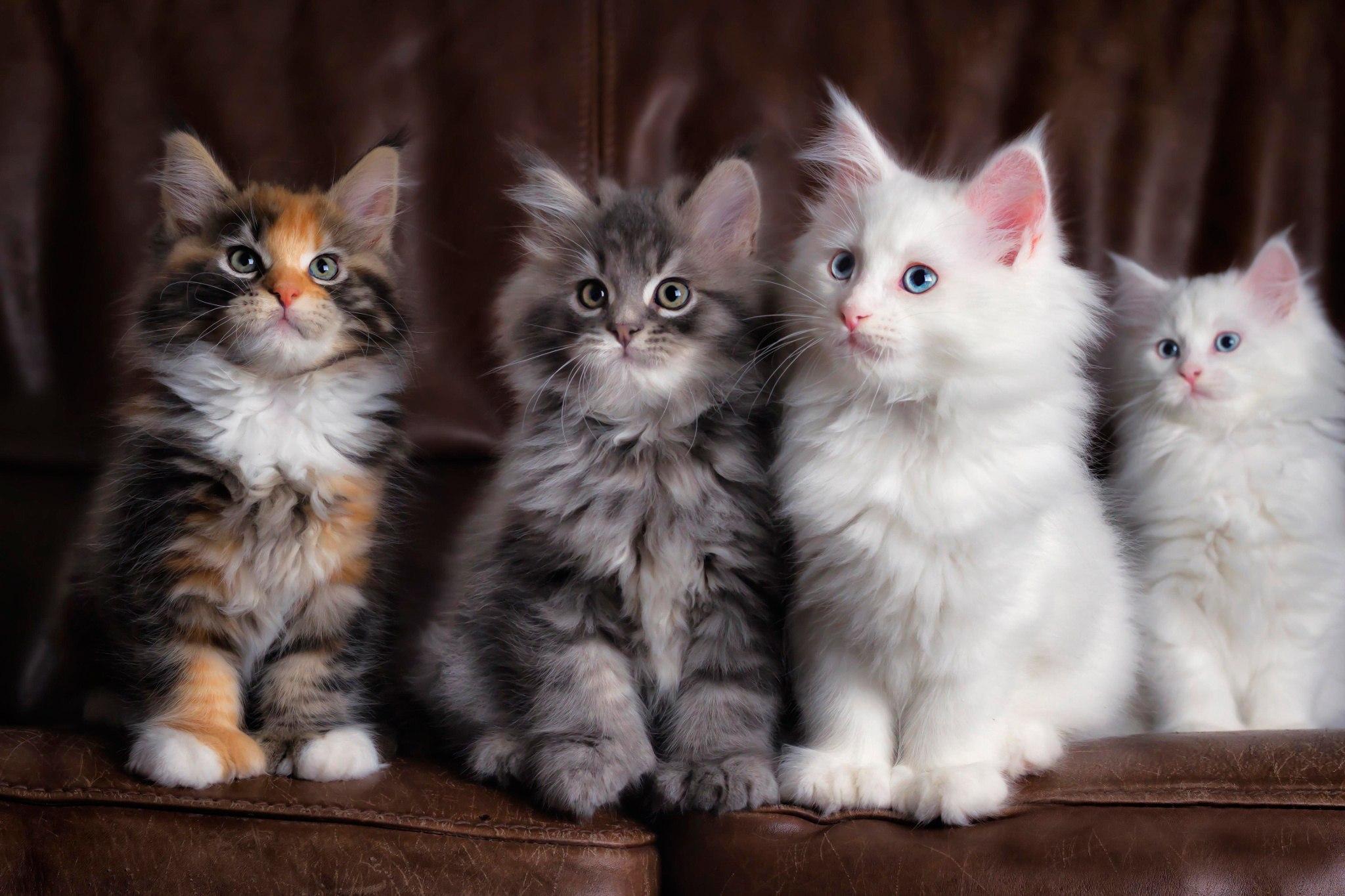 распечатать фото кошки говоря шторах