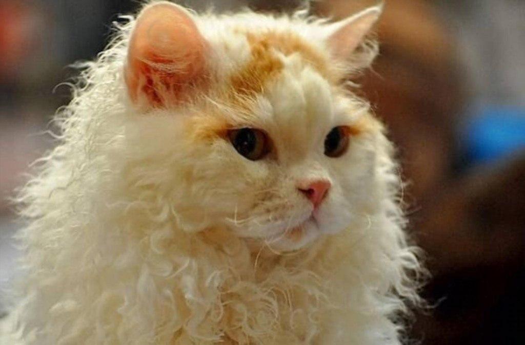 Кудрявый кот фотографии дню фотографа