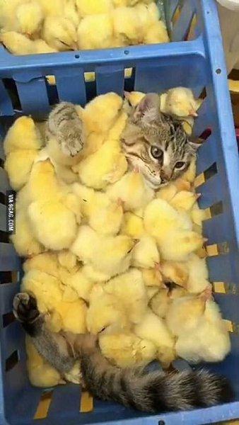 цветение гифка кошка в цыплятах ночи, друг