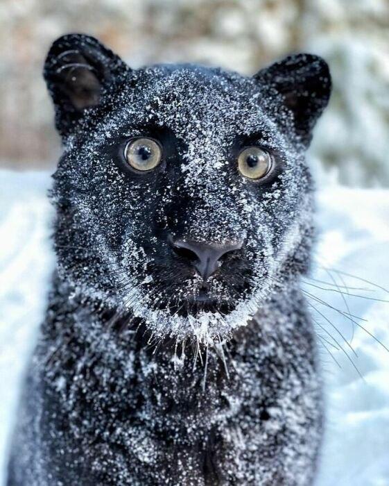 Чёрная домашняя пантера у девушки из Сибири очаровала интернет. Эта очаровательная, черная как смоль ... - 3