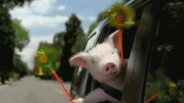Гифки смешные с новым годом свиньи, сделать видео онлайн